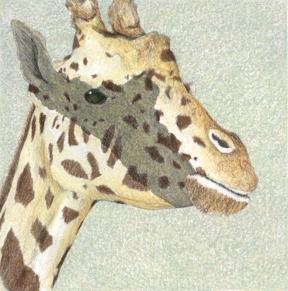 Giraffe - Original Etching 5 x 5
