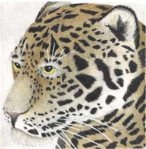Jaguar - Original Etching 5 x 5